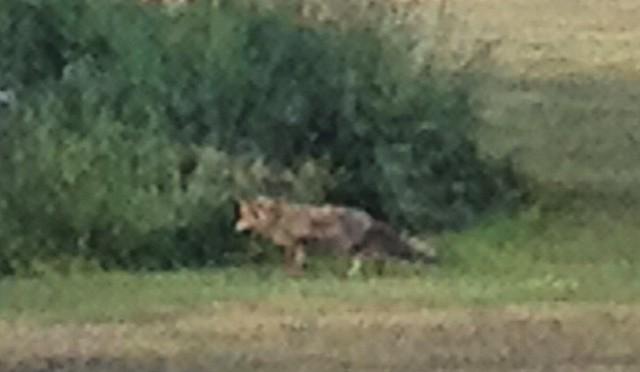 #fox on the #run #Fuchs #Düsseldorf #Itter