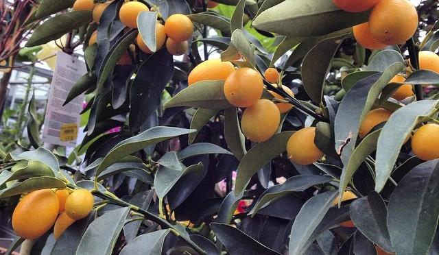 Grüße aus #Korfu #Kumquat