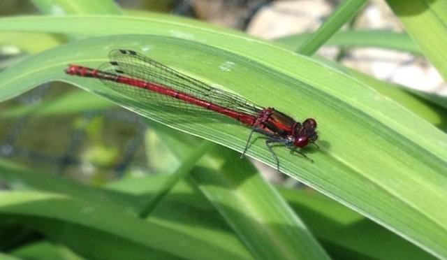 #Libelle am #Teich