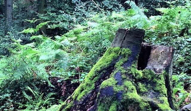 #Baumstumpf in #Velbert #Langenberg