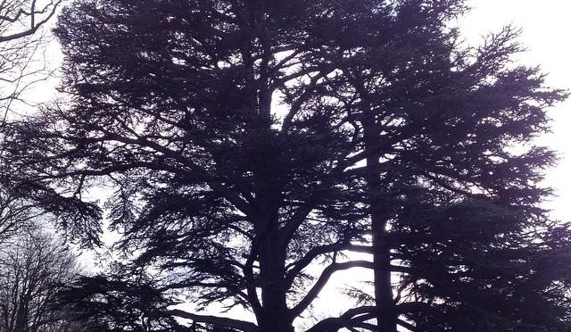 Unser #Wunschbaum für #whpmystic #Zedern #himmelgeist