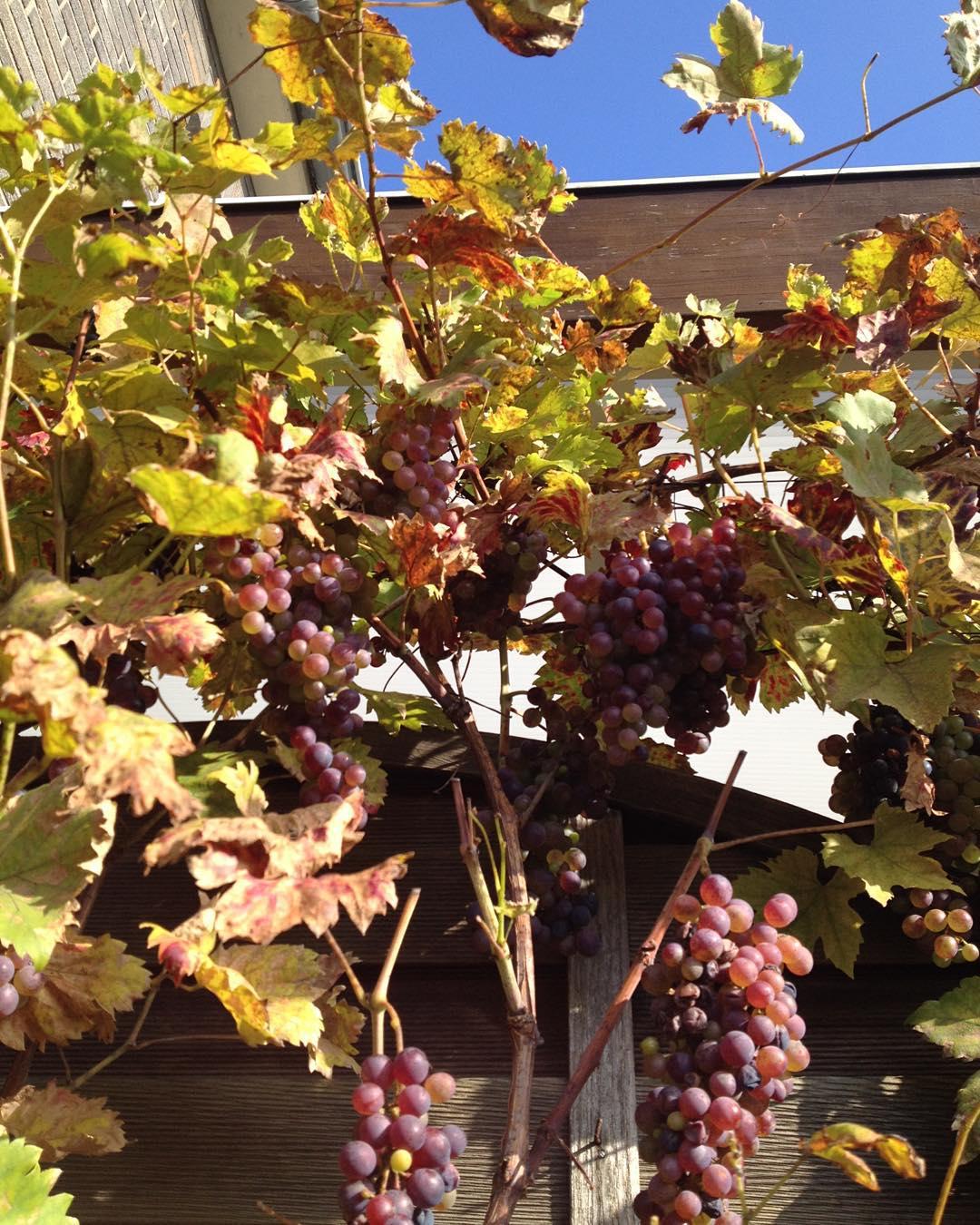 Und noch mehr #Weintrauben #hurraderdüsseldorferherbstistda