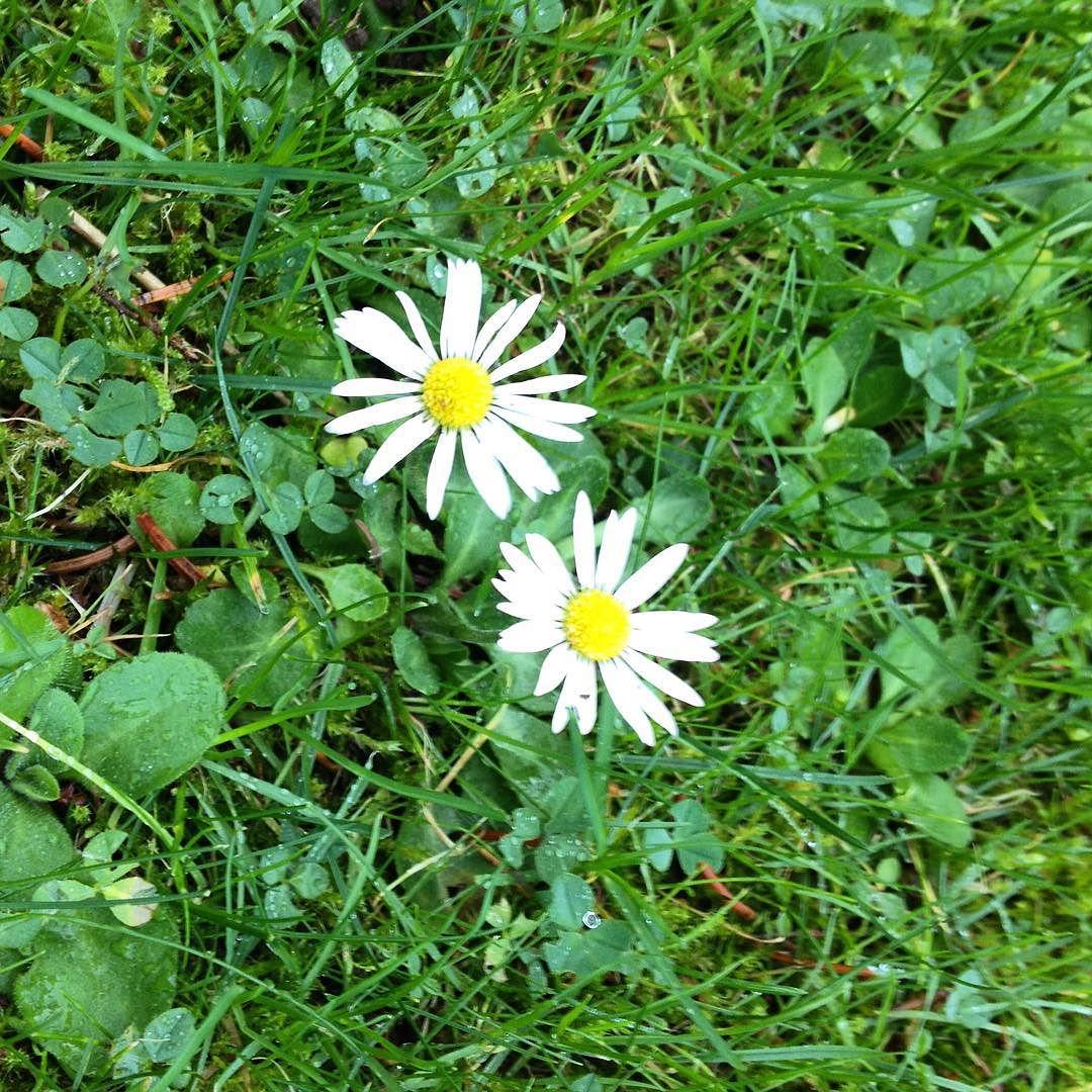 23.12.2015: Die #Gänseblümchen blühen